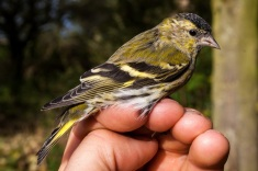 Siskin by Ian Fisher