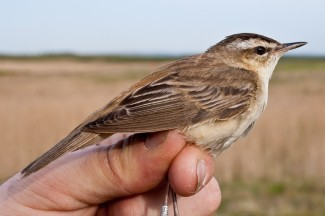 Sedge Warbler - East Chevington, 17 05 05