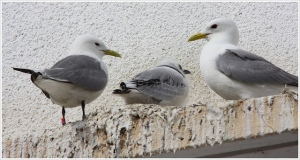 Kittiwakes in Boulogne-Sur-Mer by Jean-Michel Sauvage