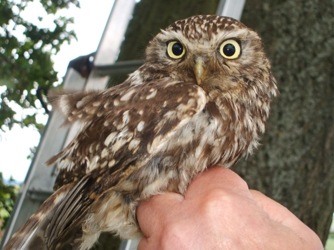 Adult little owl