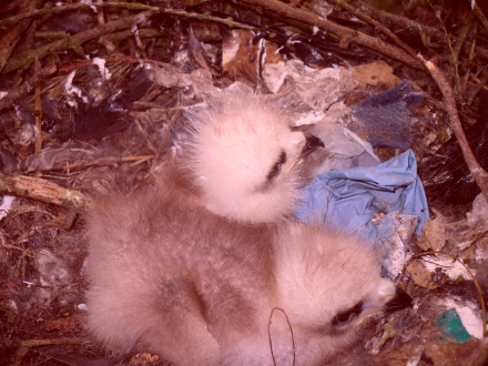 First kite chicks in Northumberland since 2009