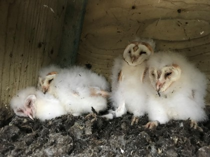 Chicks in a nest box